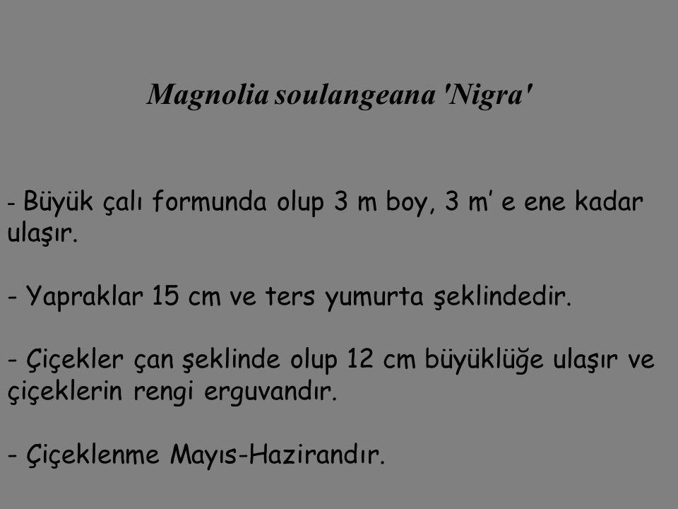 Magnolia soulangeana 'Nigra' - Büyük çalı formunda olup 3 m boy, 3 m' e ene kadar ulaşır. - Yapraklar 15 cm ve ters yumurta şeklindedir. - Çiçekler ça