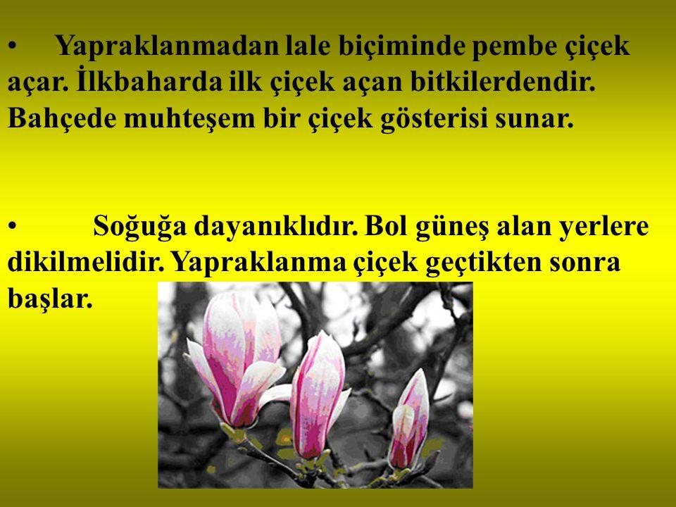 Yapraklanmadan lale biçiminde pembe çiçek açar. İlkbaharda ilk çiçek açan bitkilerdendir. Bahçede muhteşem bir çiçek gösterisi sunar. Soğuğa dayanıklı