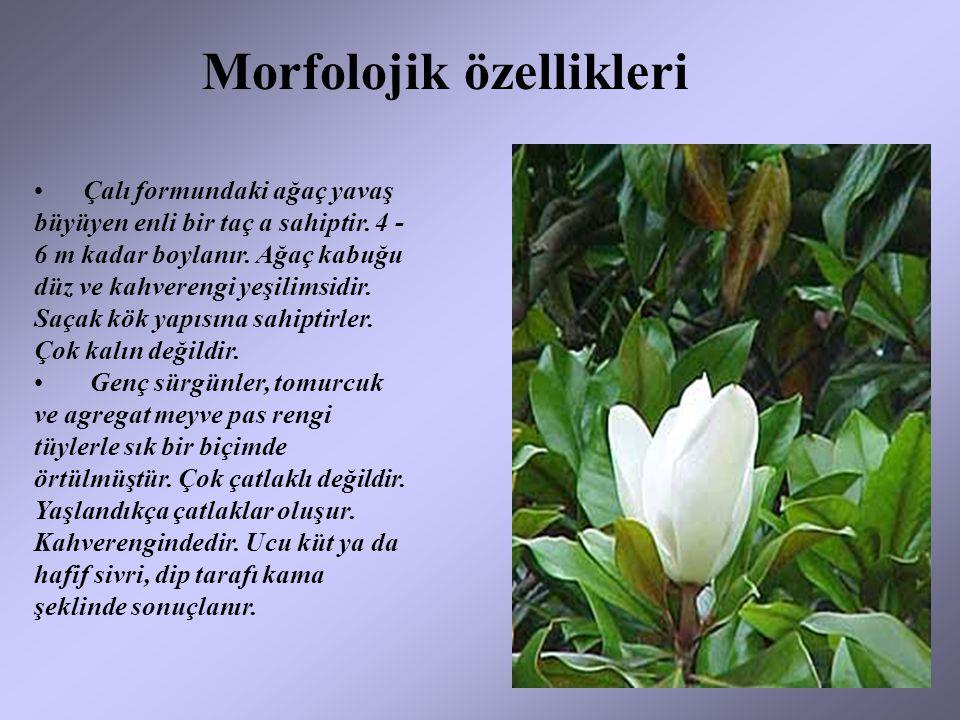 Morfolojik özellikleri Çalı formundaki ağaç yavaş büyüyen enli bir taç a sahiptir. 4 - 6 m kadar boylanır. Ağaç kabuğu düz ve kahverengi yeşilimsidir.