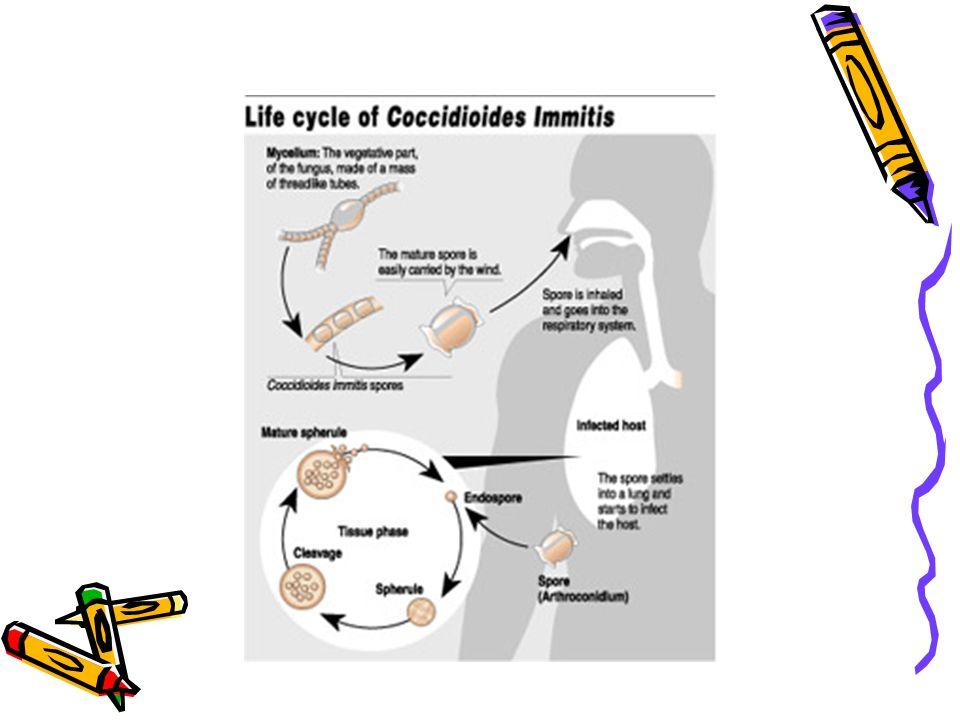 HİSTOPLAZMOZİS Patogenez Mikrokonidyumların inhalasyonu /primer kütanöz inokülasyon Maya hücrelerine dönüşüm Alveolar makrofajlar tarafından fagosite edilmeleri Üremenin sınırlanması ya da mantarın kan yoluyla RES'e yayılması Hücresel immünitenin baskılanması