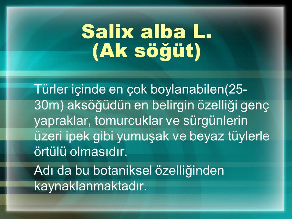 Salix alba L. (Ak söğüt) Türler içinde en çok boylanabilen(25- 30m) aksöğüdün en belirgin özelliği genç yapraklar, tomurcuklar ve sürgünlerin üzeri ip