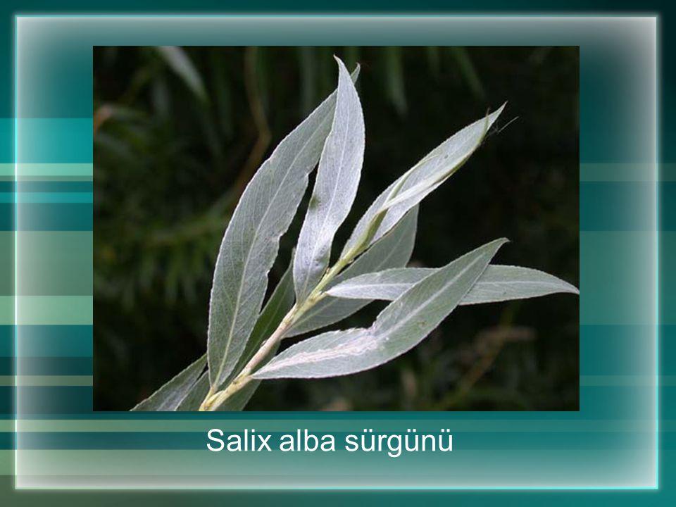 Salix alba sürgünü
