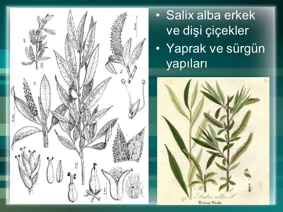 Salix alba erkek ve dişi çiçekler Yaprak ve sürgün yapıları