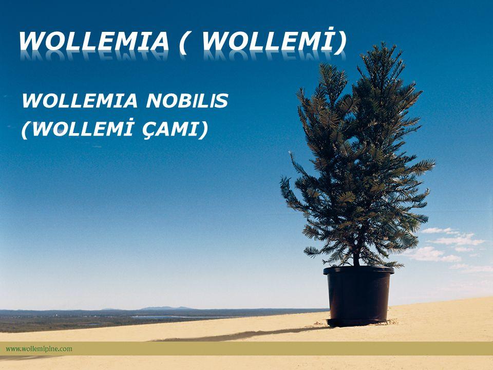 WOLLEMIA NOB I L I S (WOLLEMİ ÇAMI)