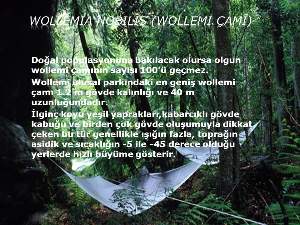 Doğal populasyonuna bakılacak olursa olgun wollemi çamının sayısı 100'ü geçmez. Wollemi ulusal parkındaki en geniş wollemi çamı 1.2 m gövde kalınlığı