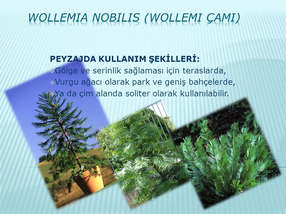 PEYZAJDA KULLANIM ŞEKİLLERİ:  Gölge ve serinlik sağlaması için teraslarda,  Vurgu ağacı olarak park ve geniş bahçelerde,  Ya da çim alanda soliter