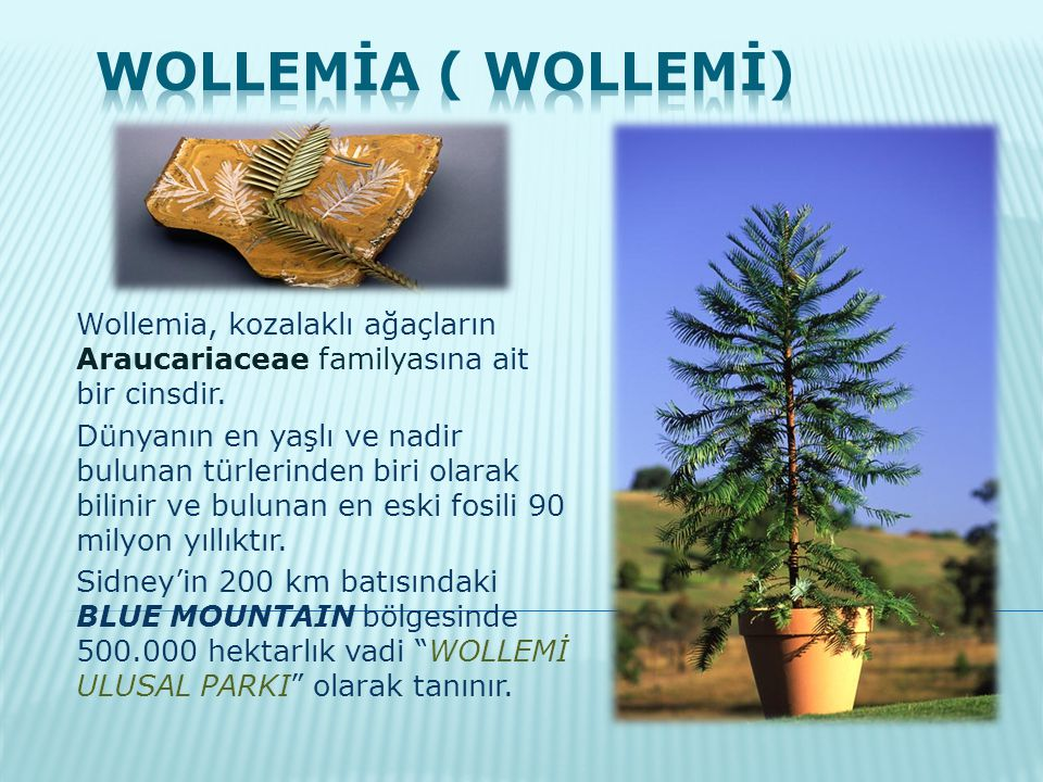 Wollemia, kozalaklı ağaçların Araucariaceae familyasına ait bir cinsdir. Dünyanın en yaşlı ve nadir bulunan türlerinden biri olarak bilinir ve bulunan