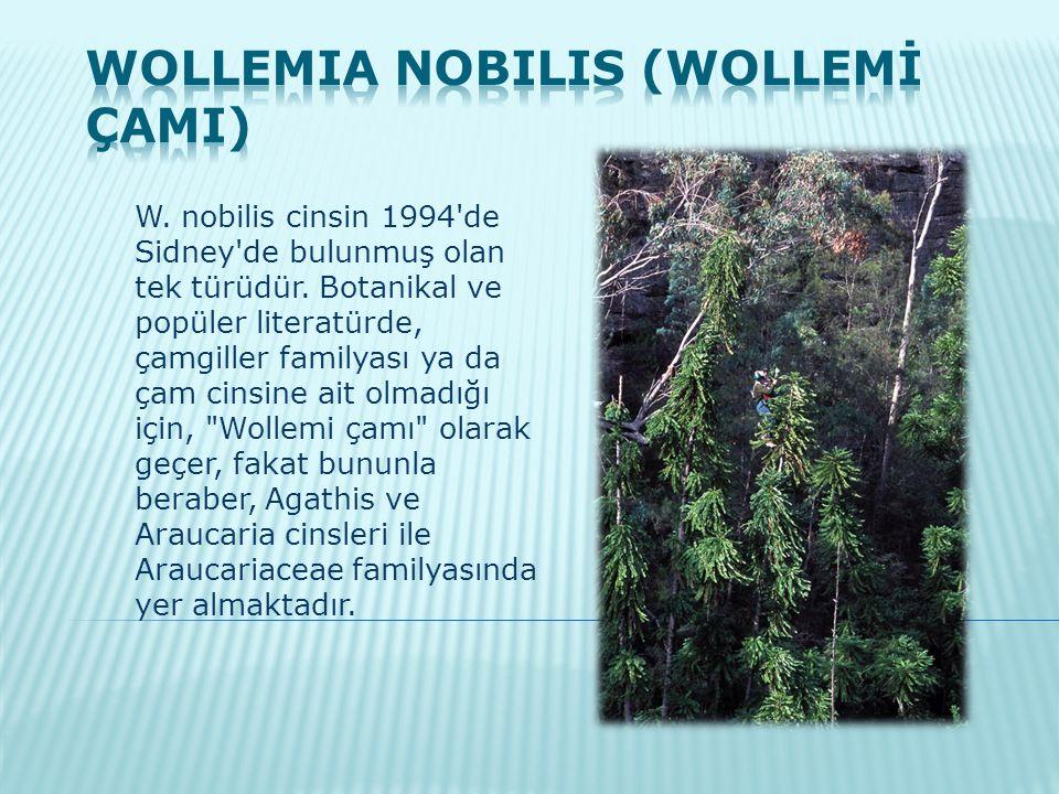 W. nobilis cinsin 1994'de Sidney'de bulunmuş olan tek türüdür. Botanikal ve popüler literatürde, çamgiller familyası ya da çam cinsine ait olmadığı iç