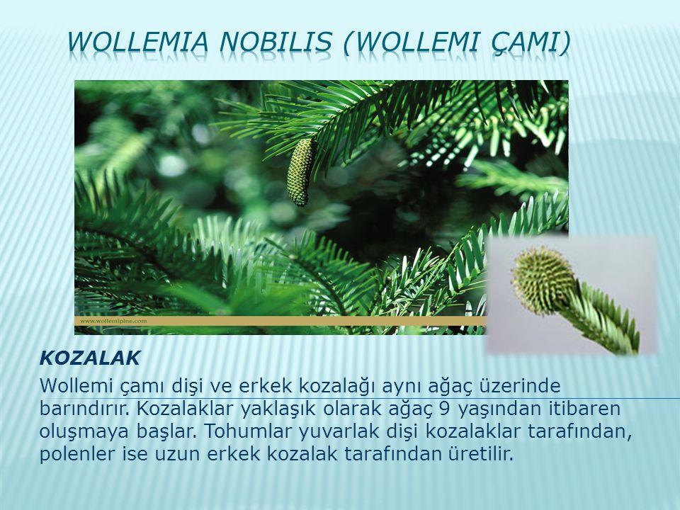 KOZALAK Wollemi çamı dişi ve erkek kozalağı aynı ağaç üzerinde barındırır. Kozalaklar yaklaşık olarak ağaç 9 yaşından itibaren oluşmaya başlar. Tohuml