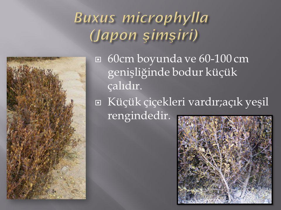  60cm boyunda ve 60-100 cm genişliğinde bodur küçük çalıdır.