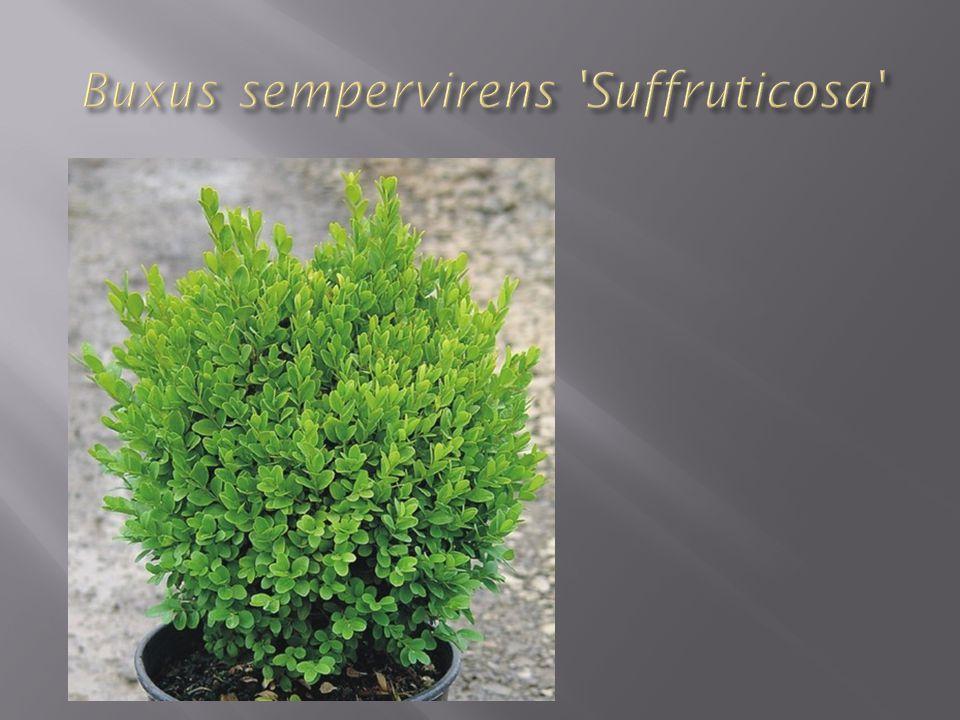 Adî şimşire çok benzeyen Türkiye'de Kemer dolayları ve Amanos Dağları'nda yetişen Buxus longifolia ( uzun yapraklı şimşir ) buxus sempervirens (adi şimşir) den daha dayanıklı bir türdür.