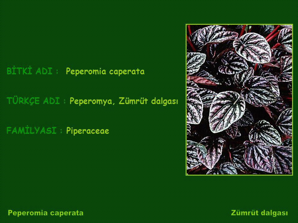 BİTKİ ADI : Peperomia caperata TÜRKÇE ADI : Peperomya, Zümrüt dalgası FAMİLYASI : Piperaceae