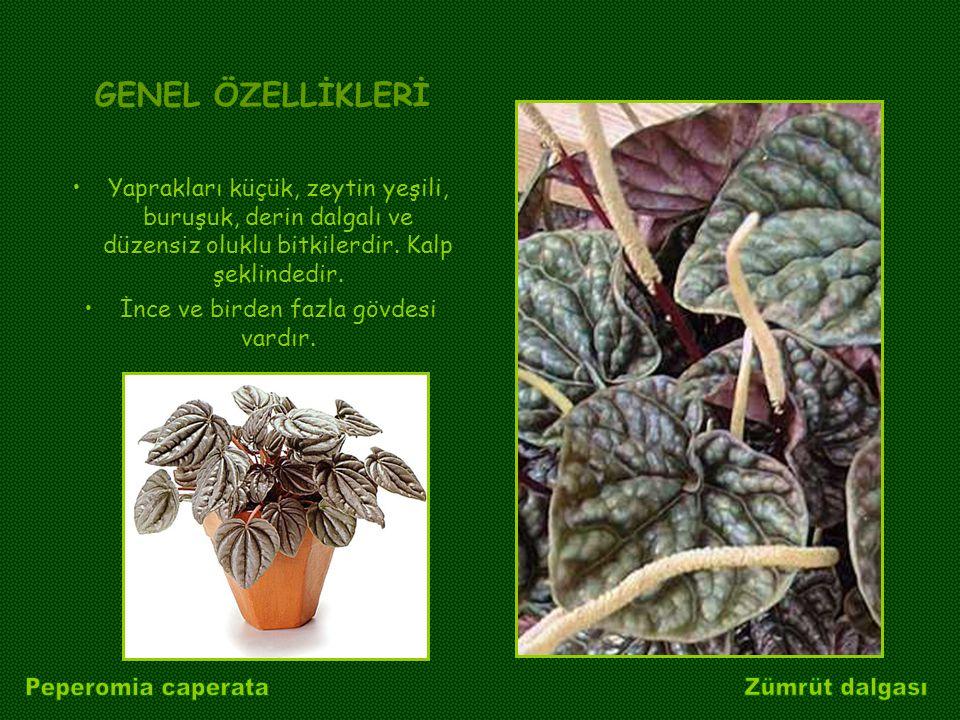 GENEL ÖZELLİKLERİ Yaprakları küçük, zeytin yeşili, buruşuk, derin dalgalı ve düzensiz oluklu bitkilerdir. Kalp şeklindedir. İnce ve birden fazla gövde