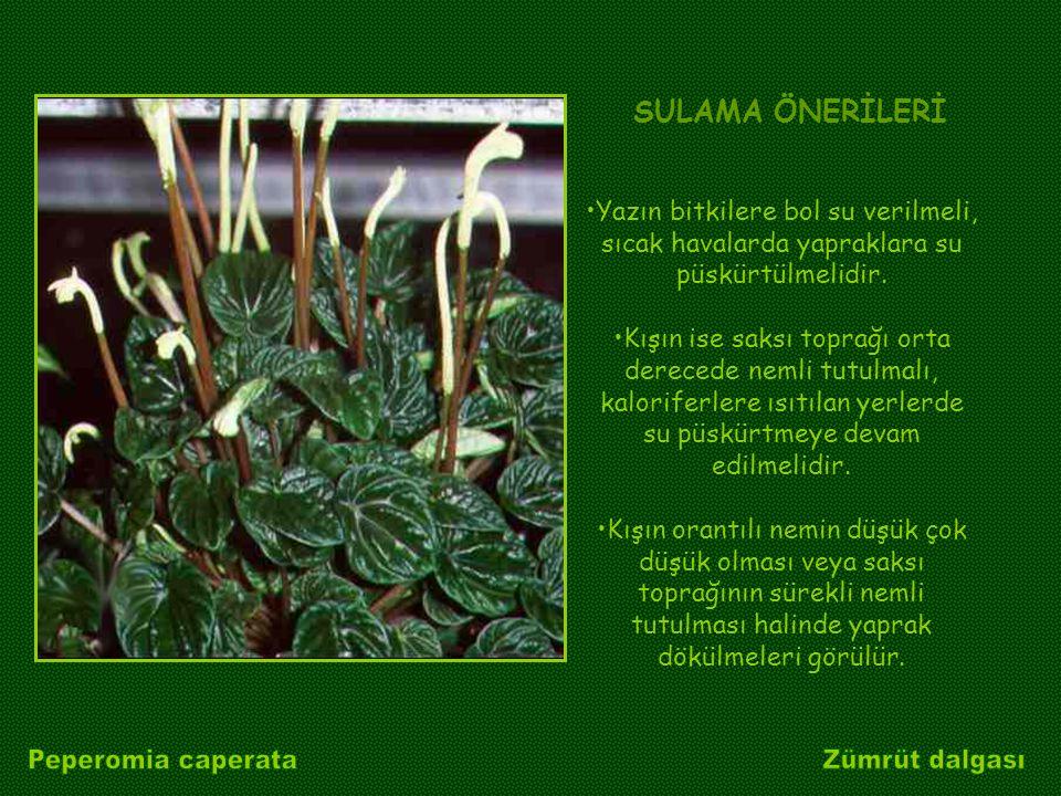 Yazın bitkilere bol su verilmeli, sıcak havalarda yapraklara su püskürtülmelidir. Kışın ise saksı toprağı orta derecede nemli tutulmalı, kaloriferlere