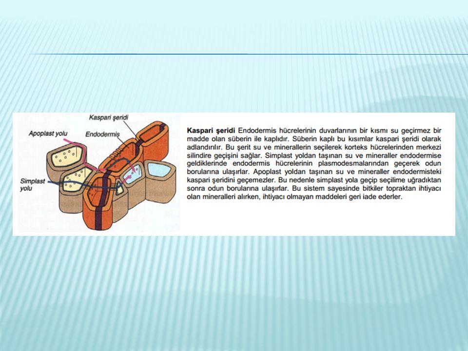  Nişasta sentezi başlar, CO2 artar, asitlik artar (Ph azalır).