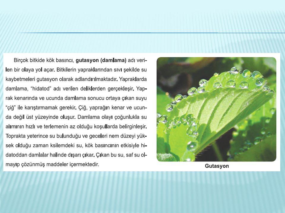  Sucul ve nemcil bitkiler: Suyun fazlasını atmak ister – Stoma çok