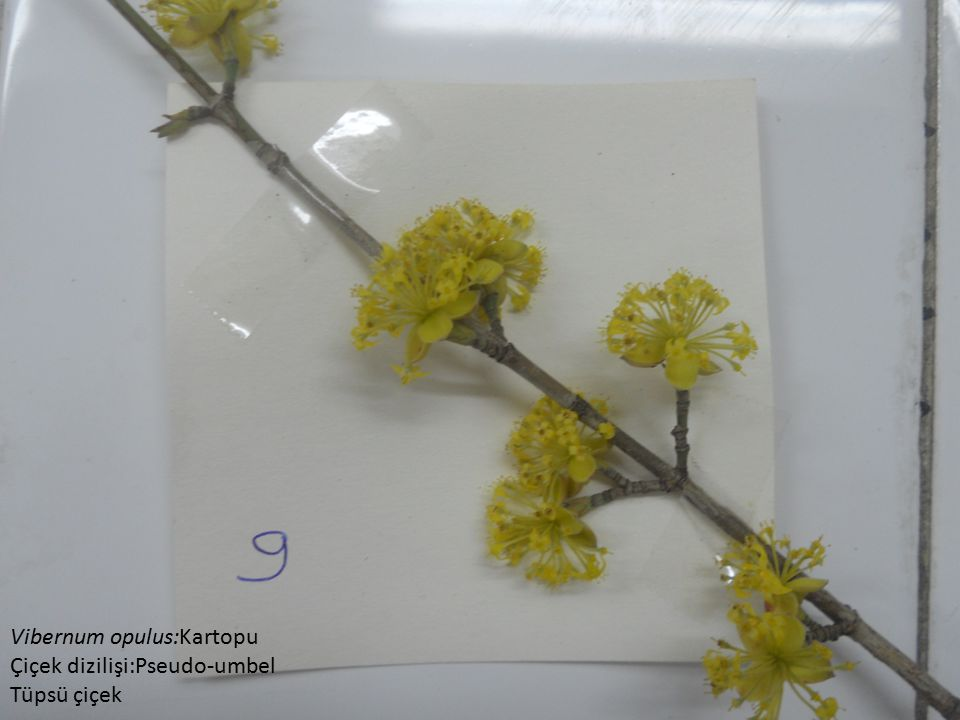 Vibernum opulus:Kartopu Çiçek dizilişi:Pseudo-umbel Tüpsü çiçek