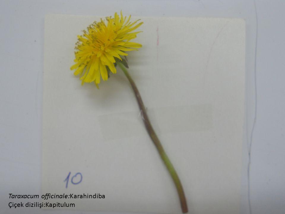 Taraxacum officinale:Karahindiba Çiçek dizilişi:Kapitulum