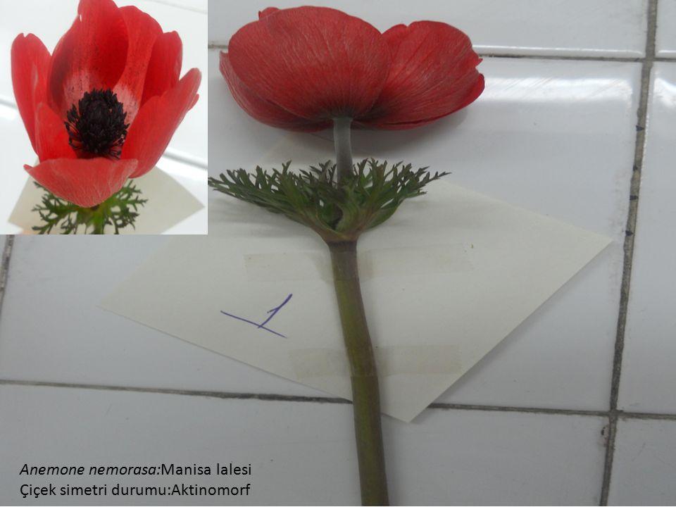 Anemone nemorasa:Manisa lalesi Çiçek simetri durumu:Aktinomorf