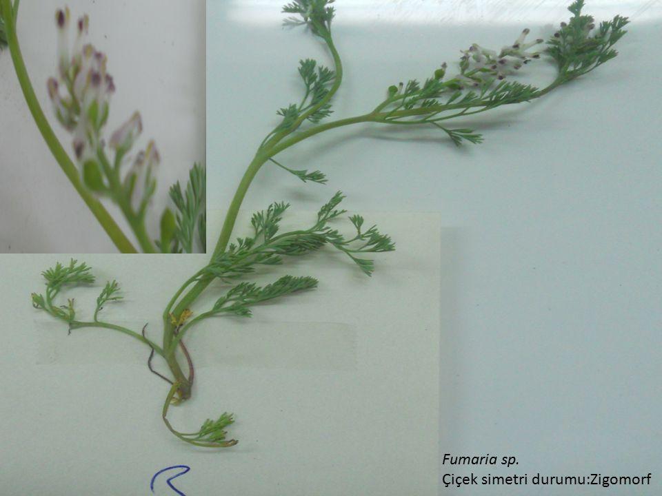 Fumaria sp. Çiçek simetri durumu:Zigomorf