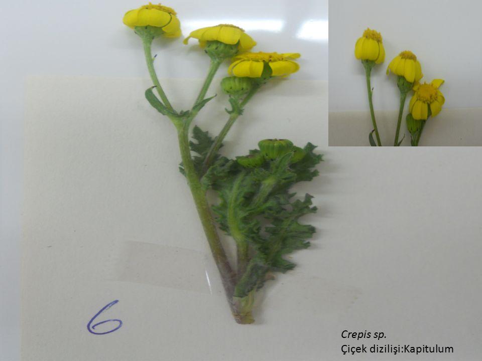 Crepis sp. Çiçek dizilişi:Kapitulum