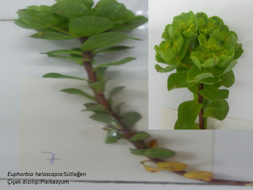 Euphorbia helascapia:Sütleğen Çiçek dizilişi:Pleikazyum