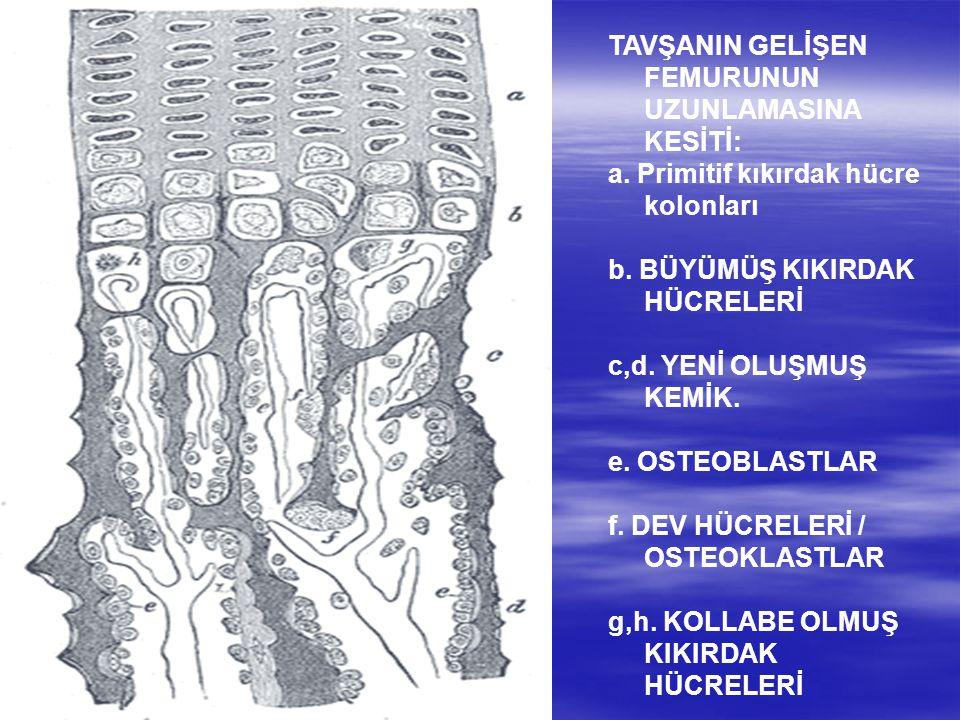 TAVŞANIN GELİŞEN FEMURUNUN UZUNLAMASINA KESİTİ: a. Primitif kıkırdak hücre kolonları b. BÜYÜMÜŞ KIKIRDAK HÜCRELERİ c,d. YENİ OLUŞMUŞ KEMİK. e. OSTEOBL