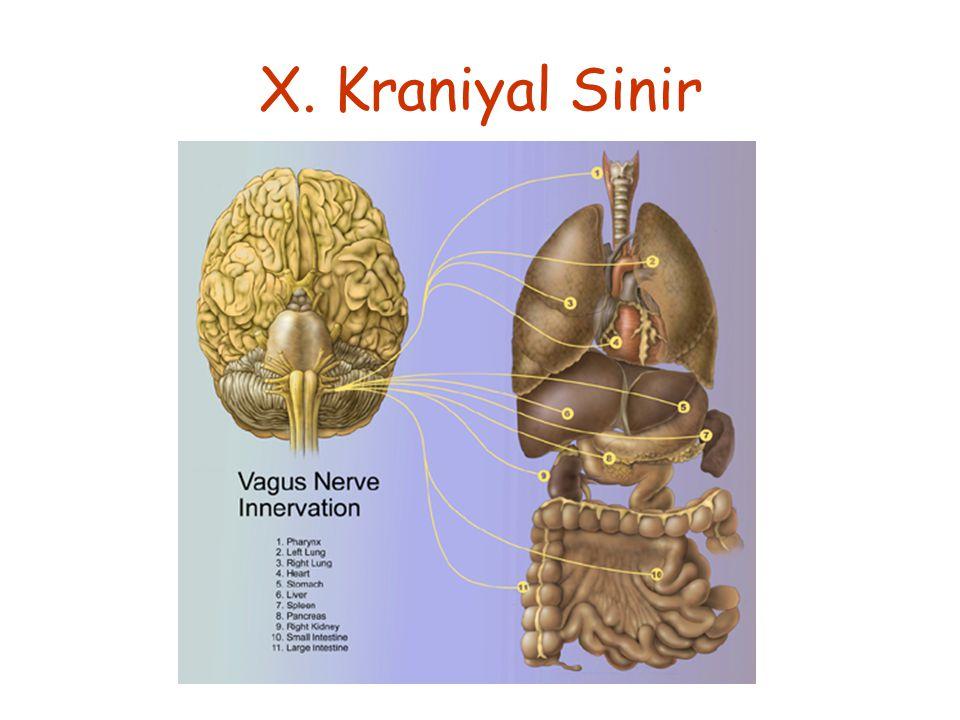 X. Kraniyal Sinir