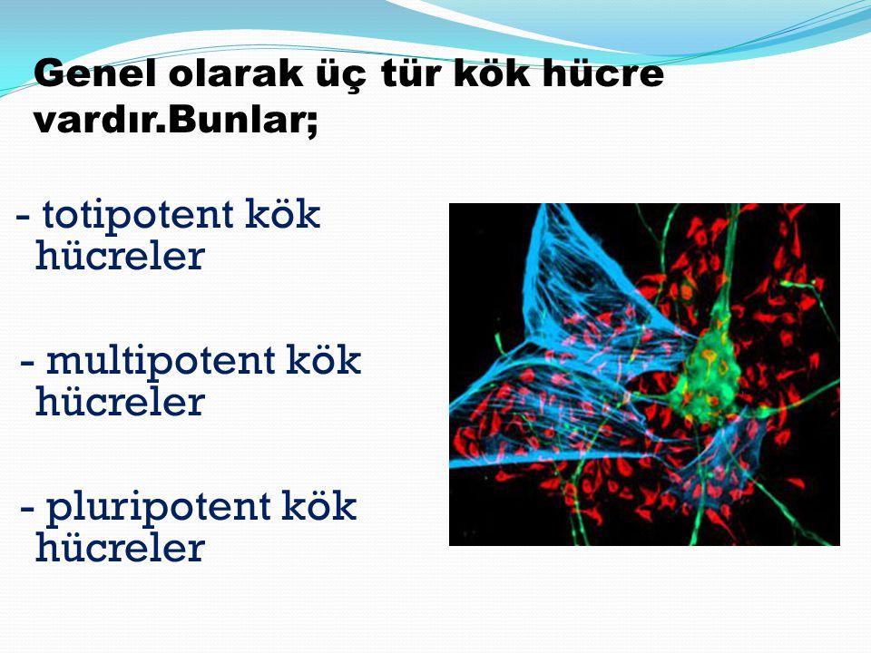 - totipotent kök hücreler - multipotent kök hücreler - pluripotent kök hücreler Genel olarak üç tür kök hücre vardır.Bunlar;