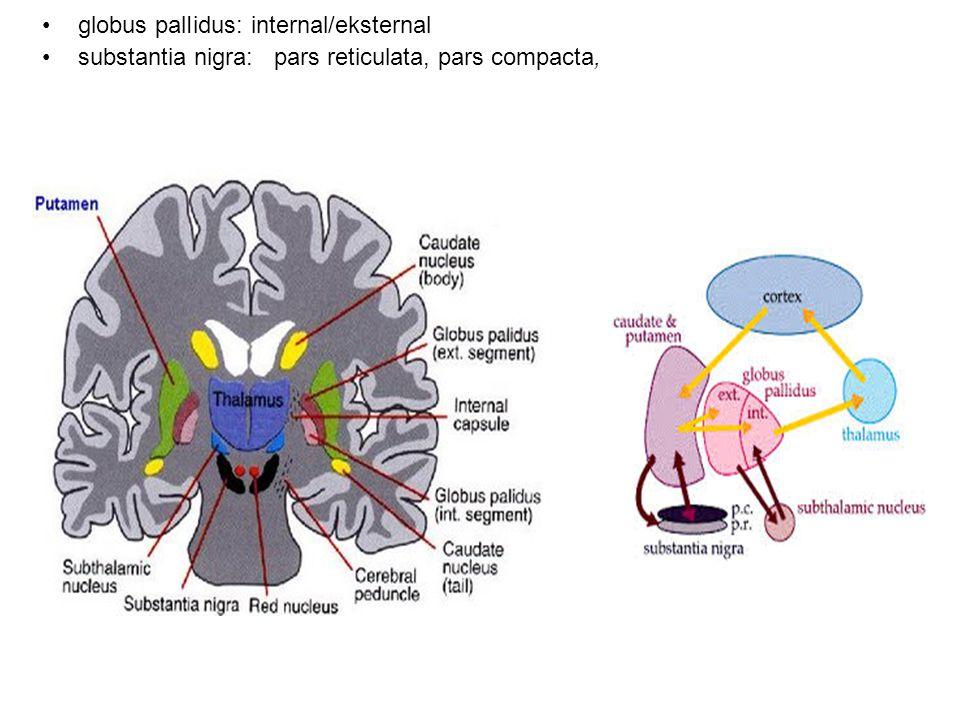 Terminoloji:: Neostriatum (Dorsal striatum):Kaudate+putamen Ventral Striatum (limbik striatum):N.acccumbens Corpus Striatum:Neostriatum+ventral striatum Striatum:Caudate+putamen+G.Pallidus