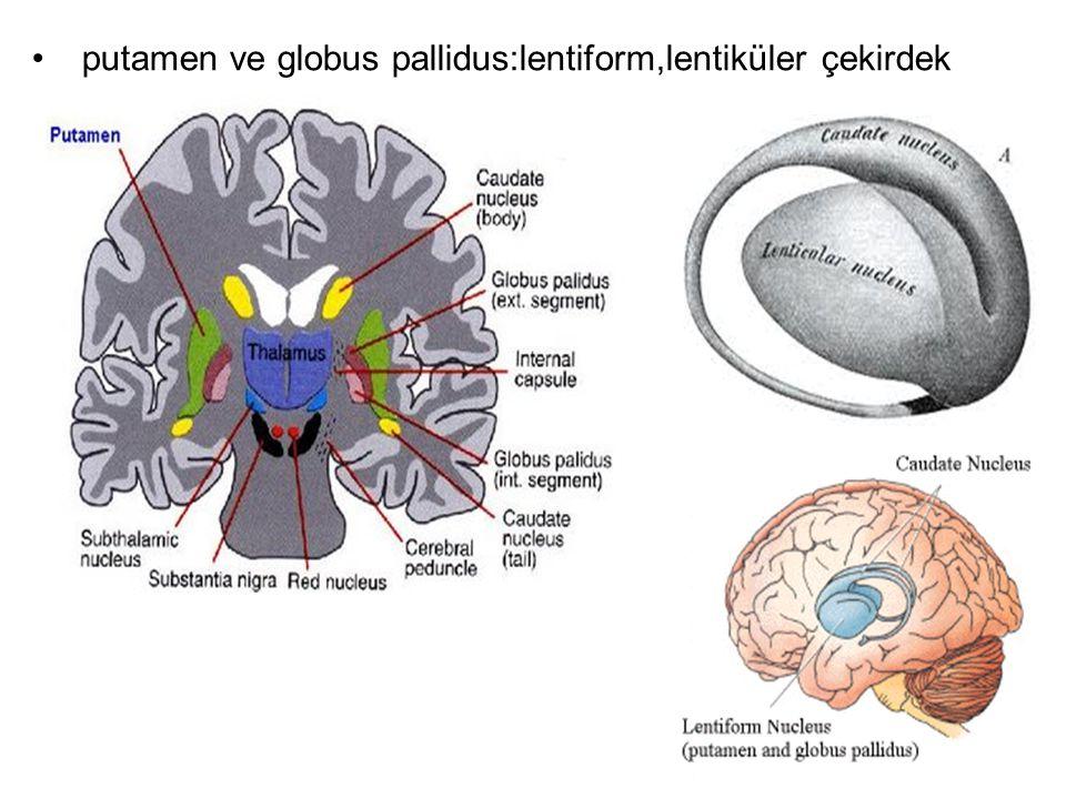 Girdiler:kaudat ve putamene (giriş kapısı): Substansiya nigra kompakt bölüm ve motor korteks alanlarından