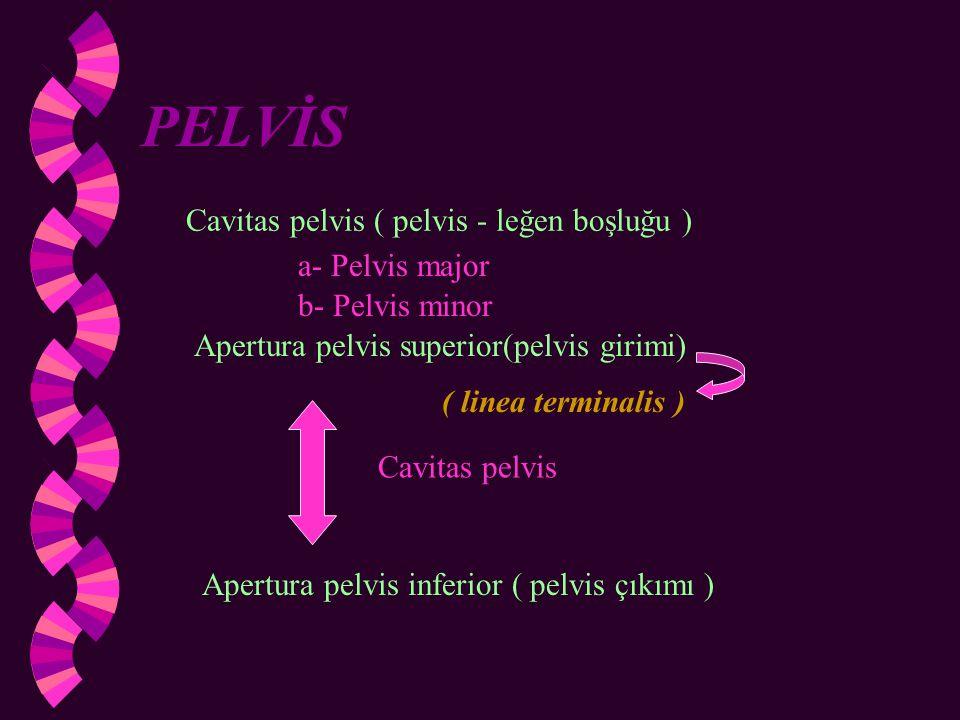 Pelvis İskeleti Os coxae Os sacrum Os coccygis Pelvis Eklemleri 1)Symphysis pubica(yarıoynar) 2)Art.