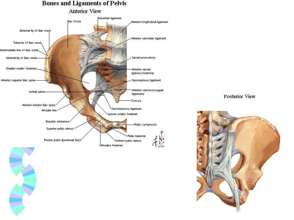 PELVIS İN ÇAPLARI Pelvis in durumu, apertura pelvis superior, apertura pelvis inferior un çapları özellikle doğumun normal olabilmesi için çok önemlidir ve pelvis genişliğinin belli bir ölçüden küçük olmaması gerekir.