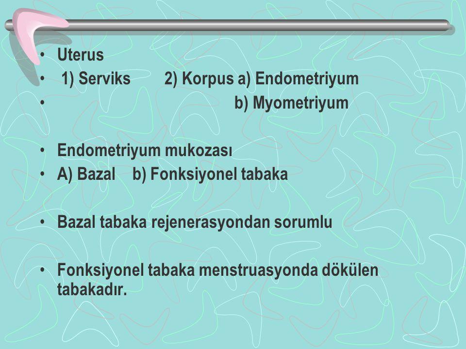 Uterus 1) Serviks 2) Korpus a) Endometriyum b) Myometriyum Endometriyum mukozası A) Bazal b) Fonksiyonel tabaka Bazal tabaka rejenerasyondan sorumlu Fonksiyonel tabaka menstruasyonda dökülen tabakadır.