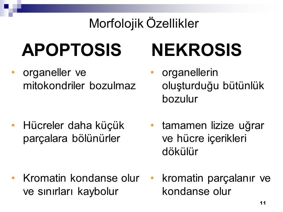 11 organeller ve mitokondriler bozulmaz Hücreler daha küçük parçalara bölünürler Kromatin kondanse olur ve sınırları kaybolur APOPTOSIS NEKROSIS Morfo