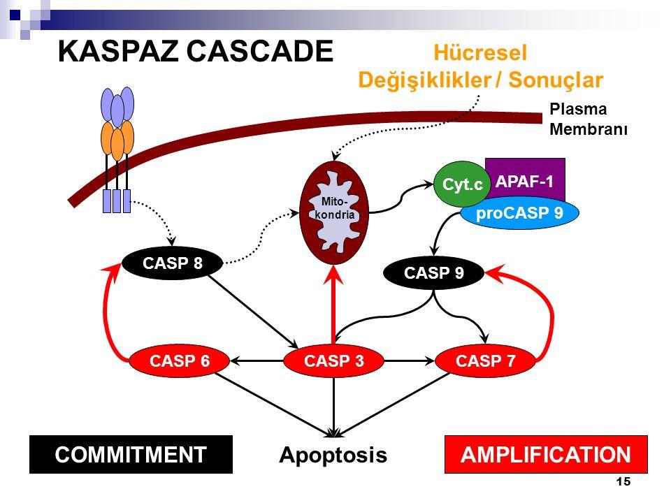 15 KASPAZ CASCADE Plasma Membranı CASP 8 APAF-1 proCASP 9 CASP 9 Cyt.c CASP 7CASP 6 CASP 3 AMPLIFICATION COMMITMENT Hücresel Değişiklikler / Sonuçlar Apoptosis Mito- kondria