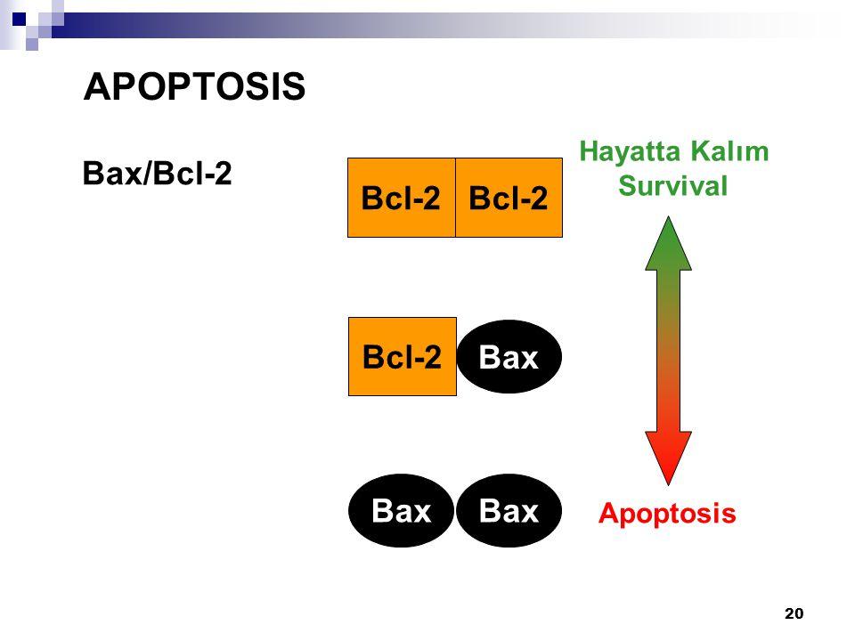20 Bax/Bcl-2 APOPTOSIS Bax Bcl-2 Bax Hayatta Kalım Survival Apoptosis