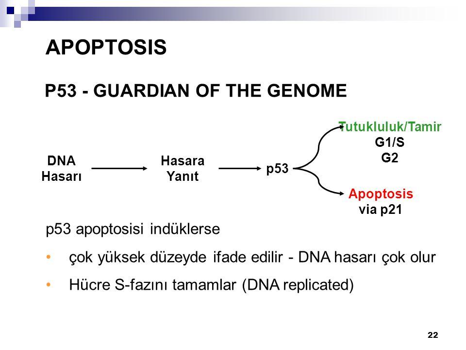 22 P53 - GUARDIAN OF THE GENOME APOPTOSIS p53 apoptosisi indüklerse çok yüksek düzeyde ifade edilir - DNA hasarı çok olur Hücre S-fazını tamamlar (DNA
