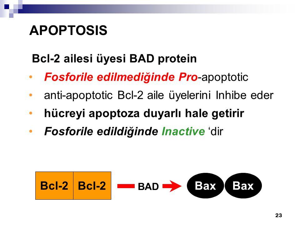 23 Bcl-2 ailesi üyesi BAD protein Fosforile edilmediğinde Pro-apoptotic anti-apoptotic Bcl-2 aile üyelerini Inhibe eder hücreyi apoptoza duyarlı hale