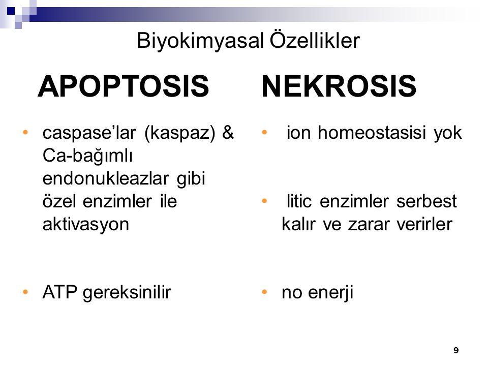 9 caspase'lar (kaspaz) & Ca-bağımlı endonukleazlar gibi özel enzimler ile aktivasyon ATP gereksinilir APOPTOSIS NEKROSIS Biyokimyasal Özellikler ion h