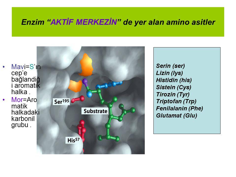 """Enzim """"AKTİF MERKEZİN"""" de yer alan amino asitler Mavi=S'ın cep'e bağlandiğ i aromatik halka. Mor=Aro matik halkadaki karbonil grubu. Serin (ser) Lizin"""