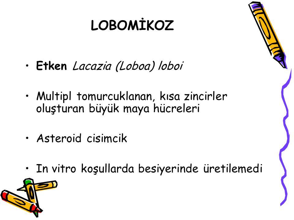 LOBOMİKOZ Etken Lacazia (Loboa) loboi Multipl tomurcuklanan, kısa zincirler oluşturan büyük maya hücreleri Asteroid cisimcik In vitro koşullarda besiy
