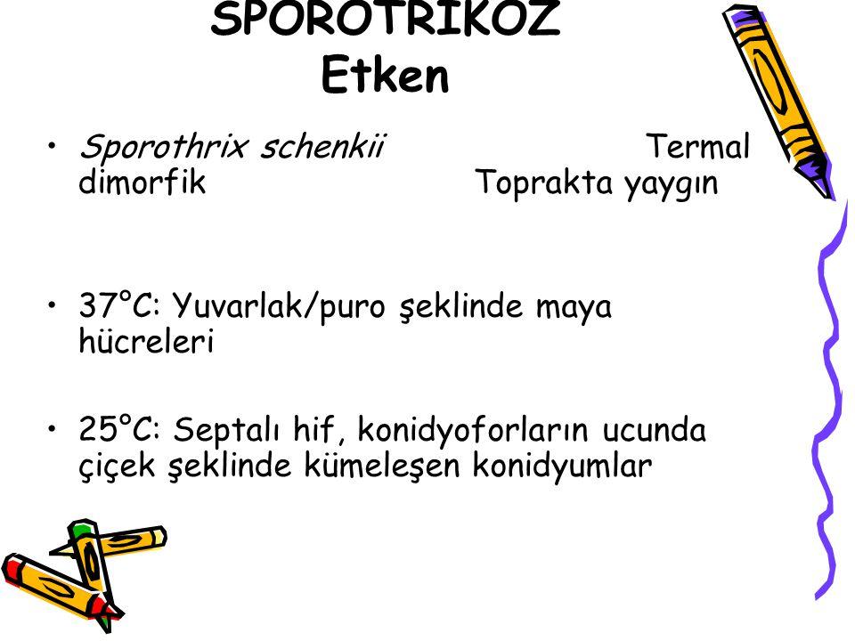 SPOROTRİKOZ Etken Sporothrix schenkii Termal dimorfik Toprakta yaygın 37°C: Yuvarlak/puro şeklinde maya hücreleri 25°C: Septalı hif, konidyoforların u