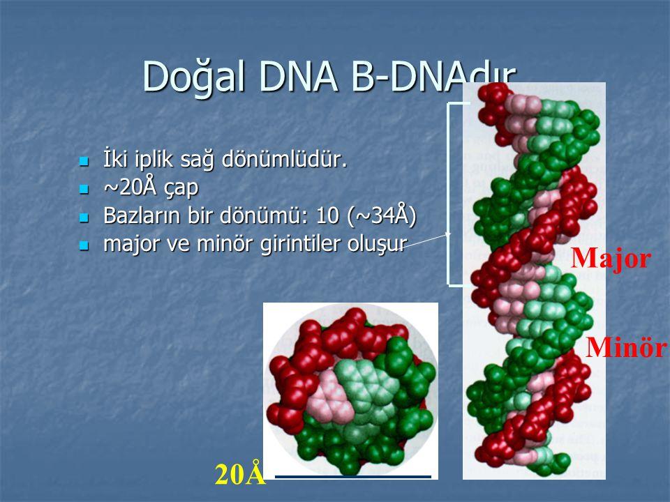 Doğal DNA B-DNAdır. İki iplik sağ dönümlüdür. İki iplik sağ dönümlüdür. ~20Å çap ~20Å çap Bazların bir dönümü: 10 (~34Å) Bazların bir dönümü: 10 (~34Å