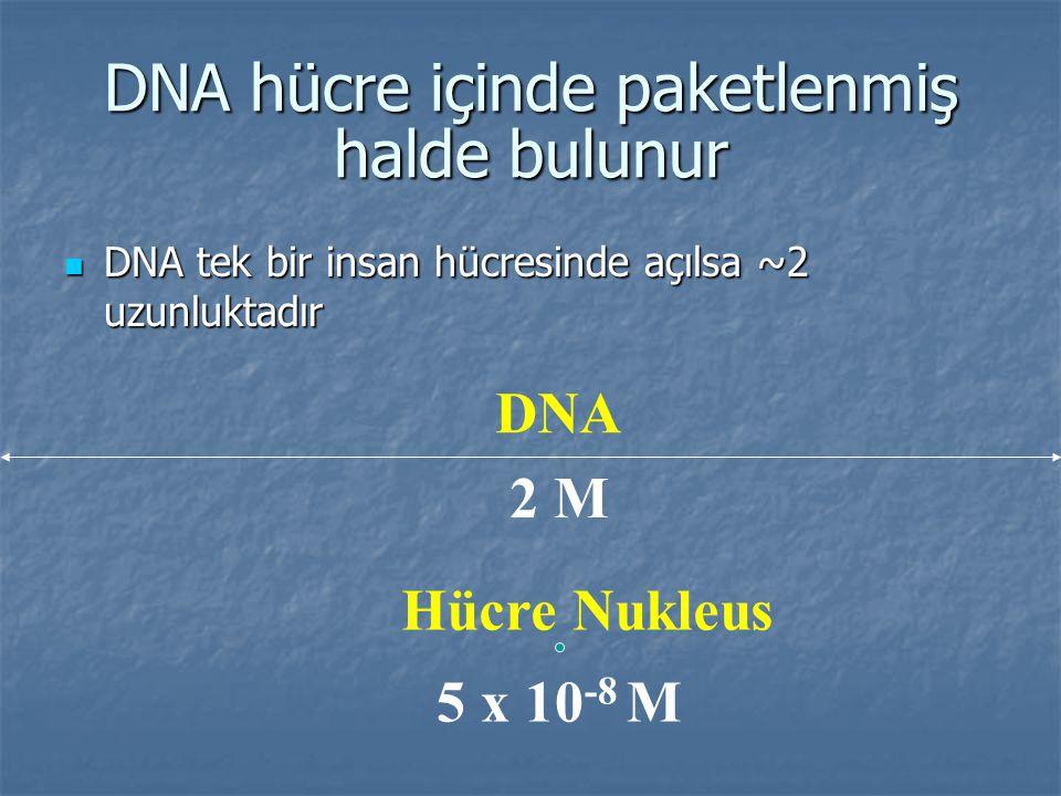 DNA hücre içinde paketlenmiş halde bulunur DNA tek bir insan hücresinde açılsa ~2 uzunluktadır DNA tek bir insan hücresinde açılsa ~2 uzunluktadır Hüc