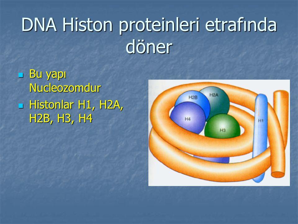 DNA Histon proteinleri etrafında döner Bu yapı Nucleozomdur Bu yapı Nucleozomdur Histonlar H1, H2A, H2B, H3, H4 Histonlar H1, H2A, H2B, H3, H4