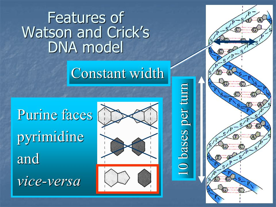 Features of Watson and Crick's DNA model 10 bases per turn Constant width Purine faces pyrimidineandvice-versa