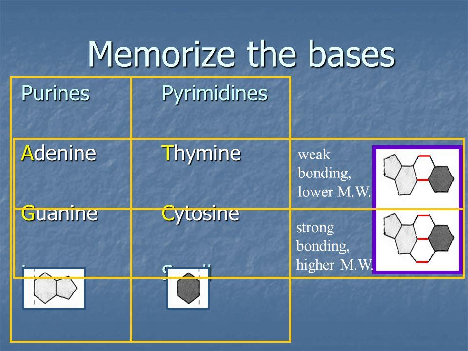 PurinesPyrimidines AdenineThymine GuanineCytosine LargeSmall Memorize the bases weak bonding, lower M.W. strong bonding, higher M.W.