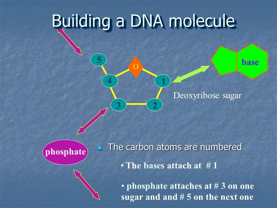 The carbon atoms are numbered The carbon atoms are numbered 1 23 4 5 O base The bases attach at # 1 phosphate attaches at # 3 on one sugar and and # 5 on the next one phosphate Deoxyribose sugar Building a DNA molecule