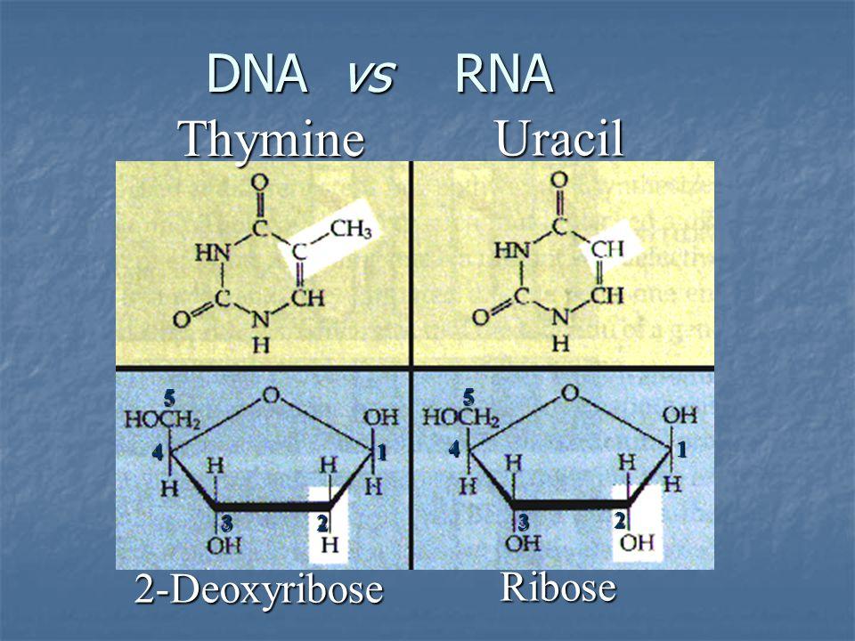DNA vs RNA DNA vs RNA 2-Deoxyribose Ribose Thymine Uracil 2 1 1 23 3 4 4 5 5
